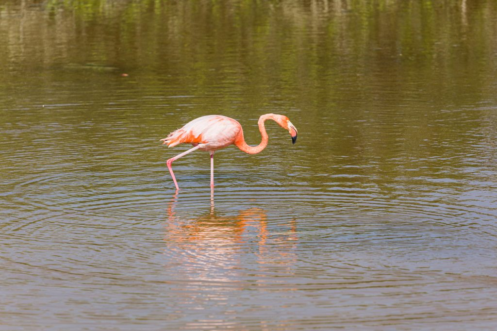 un flamand rose